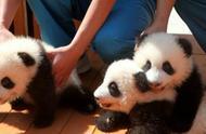 陕西三只大熊猫幼仔面向全球公开征(冠)名认养