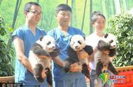 三只大熊猫宝宝亮相 面向社会各界征名认养