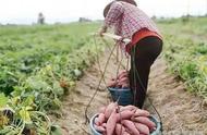 农村的冬季,烤红薯那股香味真得让人垂涎欲滴