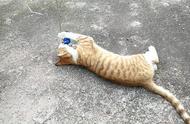 农村的土猫就是好玩,比宠物猫强多了,我家也要养一只这样的猫咪