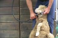 大叔演示给绵羊剃毛,原来剃毛的顺序这么有讲究!
