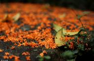 抢在冬天来临前,用糖桂花来收藏一罐秋天的香甜