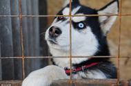 这几种狗狗都是狗界颜值扛把子,但太难养了,没有经验最好别养