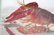 小龙虾真是什么都吃啊,蜥蜴你都吃,没吃过吧,第一次吃吧?