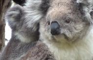 触目惊心,澳洲大火超300只考拉丧生火海,镜头记录全过程