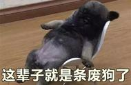 千方百计教会斗牛犬玩滑板,但是它却再也不肯走路!