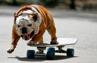 斗牛犬学会了玩滑板,再也不能好好走路了!