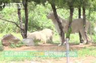 难得一见!山东3只罕见白狮首次公开与游客见面