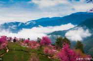 云南大理无量山樱花谷,樱花在冬季盛开,宛如人间仙境