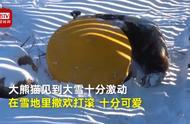 熊猫初次见到大雪 网友:撒欢的样子像极了第一次见到雪的自己