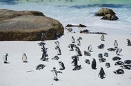 40年有近40万只企鹅死亡,究竟是因为和原因?科学家这样说!