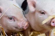"""国内猪肉贵到吃不起,这家公司却凭借""""人造""""肉饼3天涨16亿"""