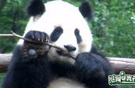 熊猫小科普时间!大熊猫的手指有几根?