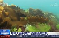 冬季温度异常升高 日本海带将面临消失