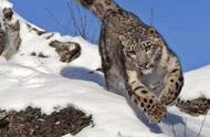 方脸的藏狐、贪吃的土拨鼠、高冷的雪豹……快来了解一下它们吧