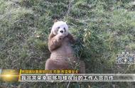 """全球唯一圈养棕色大熊猫""""七仔""""被认养啦"""