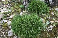 """四川发现植物新种""""巴朗山雪莲"""":小于500株,为极度濒危等级"""
