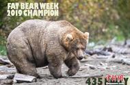 阿拉斯加胖熊争霸赛 吃得最胖的才是冠军