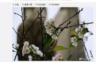 武大樱花十月开了!网友:这是被天气搞晕了?