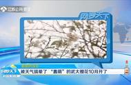 """美丽的误会!""""蠢萌""""的武大樱花10月开了:被天气搞晕了!"""
