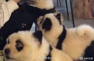 """成都宠物犬染色成熊猫狗 想""""养国宝""""?"""