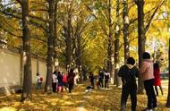 银杏最佳观赏期来了!北京名气最响的当属钓鱼台银杏大道