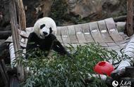 """华盛顿民众依依惜别旅美大熊猫""""贝贝"""""""