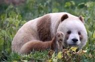 全球唯一圈养棕色大熊猫见过吗?TA今天被认养啦