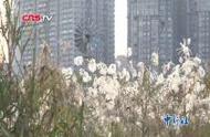 武汉汉口江滩芦荻花开 绵延十里蔚为壮观