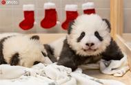 柏林动物园发布旅德大熊猫双胞胎近照对镜卖萌惹人爱