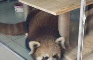 重庆一咖啡馆疑饲养小熊猫 国家林草局:林业部门已介入调查