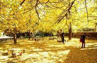 云南腾冲银杏村 | 最美的秋季,想和你来一场浪漫约会。 