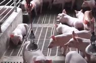统计局回应猪肉价格翻倍:猪肉价格将会逐步企稳