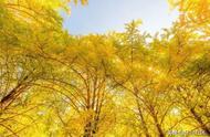 云南童话世界,秋天最美地方,腾冲银杏村,一年只美这20天