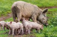 美国野猪泛滥成灾,为何宁愿每年花10亿美元消灭,都不愿意吃呢?
