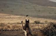 猞猁捕食小鸟,在空中将其抓获,镜头拍下全过程