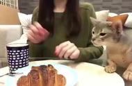 猫咪为了吃到底能有多卑微,女主人持续的抵挡有点心疼小猫了!