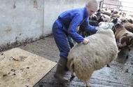 小伙给绵羊剃羊毛,这技术6的不行,看他工作是一种享受