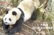 为什么要保护大熊猫?看看大熊猫和它的小伙伴们