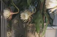 #昙花绽放有多惊艳#   昙花盛开的时候时候也太美了吧!繁复又精致的花瓣打开,真的自带仙气![惊喜]