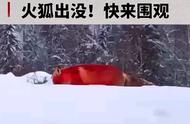 千年火狐现身大兴安岭……