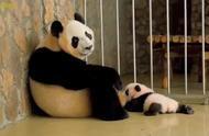 """动物园的大熊猫有了幼崽,照顾孩子时的表情一直很""""无奈"""""""