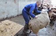 给绵羊剃毛,整个过程看着很舒坦