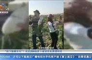 农民200亩萝卜被误传免费遭千人哄抢:车停三四里,还有人直播