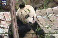 """旅美大熊猫""""贝贝""""返乡:就算生在他乡也改变不了我的中国心"""