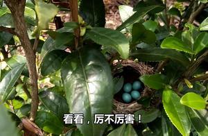 宝妈后院找鸡蛋有意外发现!第一次见这么漂亮的蛋,你们认识吗?