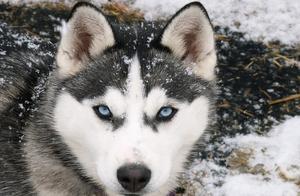 阿拉斯加雪橇犬怎么避暑