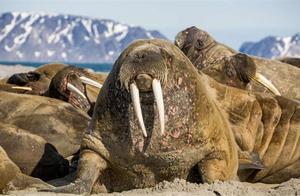 怪事!海象包围美国乡镇 1000多头突然涌向海滩疑为迁徙觅食