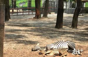 斑马宝宝和妈妈神同步,赤猴宝宝健康成长……小动物也过儿童节!