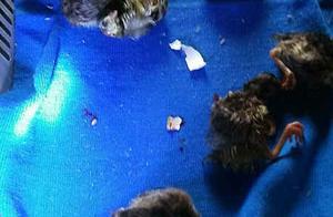 500只孔雀蛋只孵出一只 镇江孔雀老人痴心不改终获成功